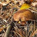 W Rezerwacie Piskory #Piskory #rezerwat #grzyb #podgrzybek