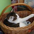 Megi #kot #kotek #kocica #koszyk