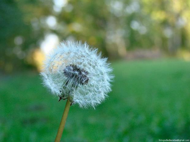 Dmuchawiec #dmuchawce #kwiaty #łąki #natura #lato #wakacje #makro