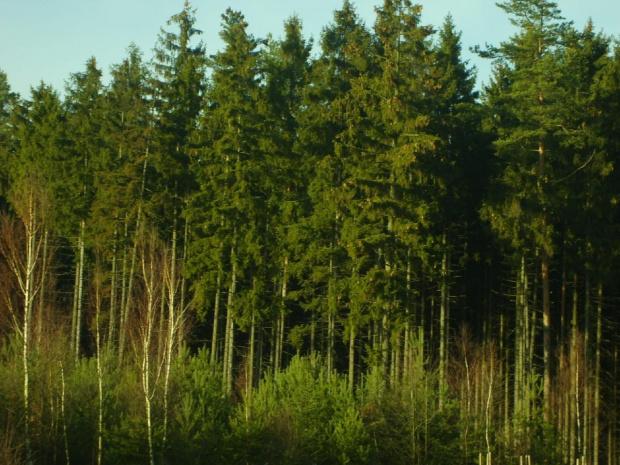 młodnik sosnowy i las świerkowy