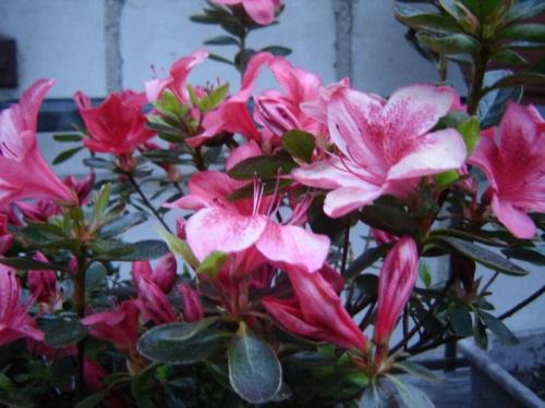 #azalia #kwiaty